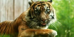 """Photo du Tigre: """"Libere moi !!!"""""""