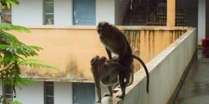 Accouplement de singes