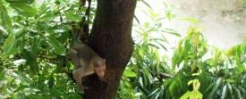 Les singes pendant la mousson en Inde