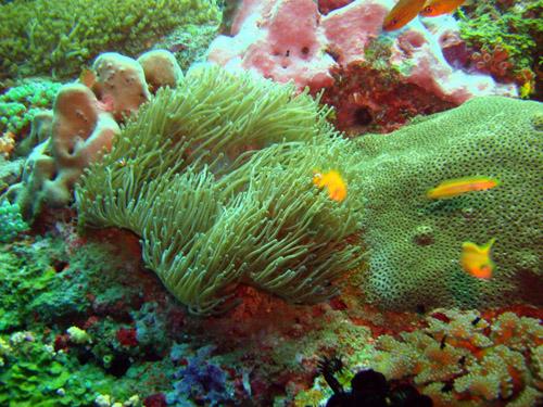 anémone corail et poisson jaune