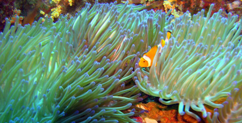 poisson clown némo