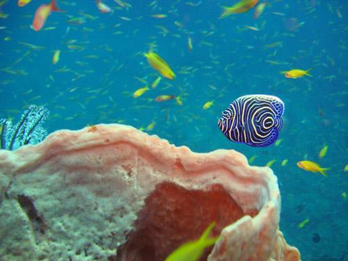 juvenile angelfish - poisson ange bébé