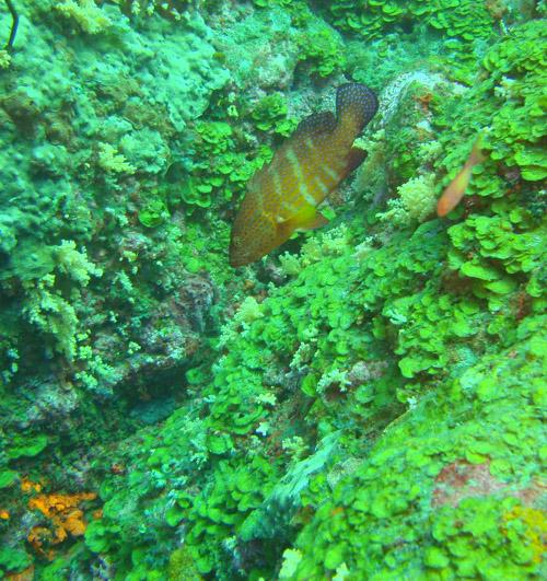 mérou devant le corail