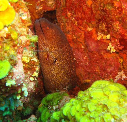 murene et ecrevisse nettoyeuse de poisson - cleaner shrimp