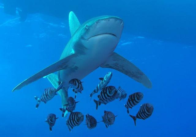 le plus beau requin